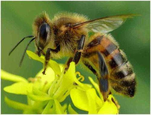 pszczo%C5%82a